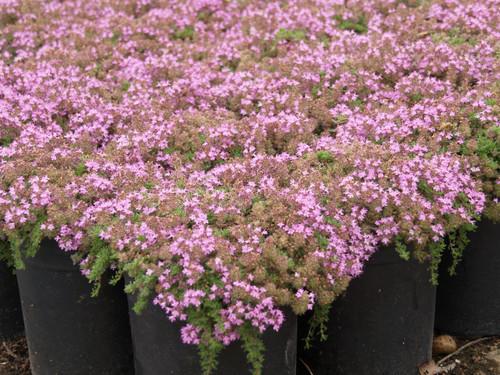 """Thymus praecox 'Pink Chintz' 4"""""""