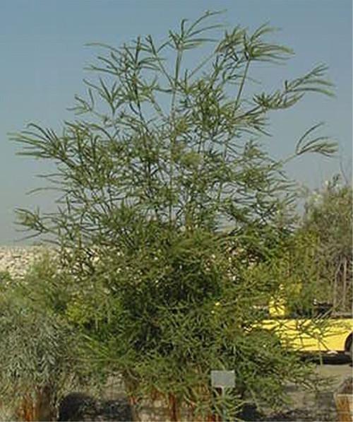 Acacia pravissima 24B