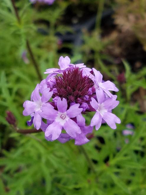 Verbena lilacina 'De la Mina' 1g
