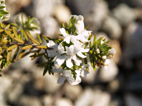 Westringia fruticosa Low Horizon 'WES06' PP24,042 1g