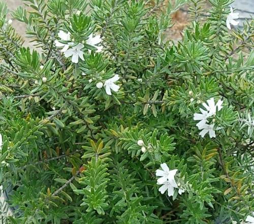 Westringia fruticosa 'Mundi' PPAF 5g