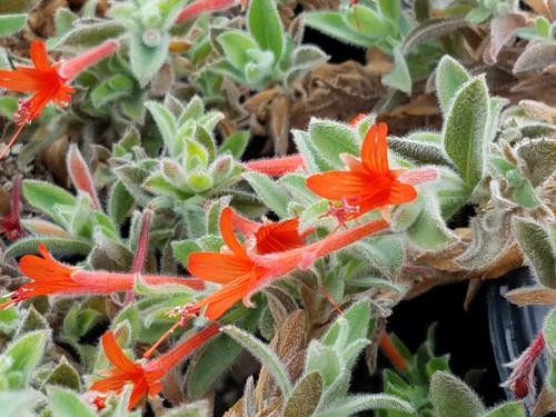 Zauschneria c. latifolia 'Everett's Choice' (Epilobium) 1g