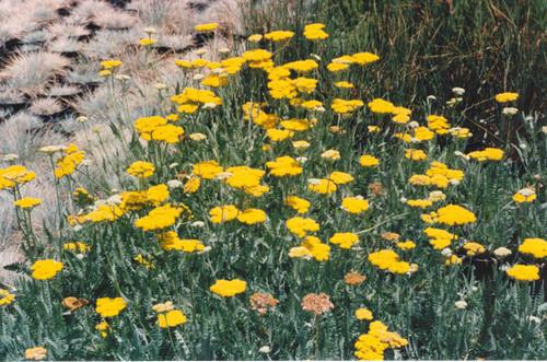 Achillea filipendulina 'Coronation Gold' 1g