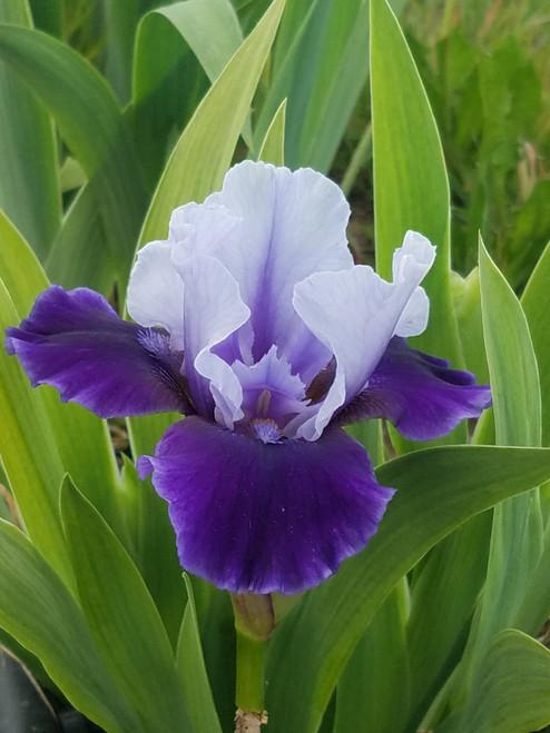 Iris g. 'Mariposa Wizard' 1g