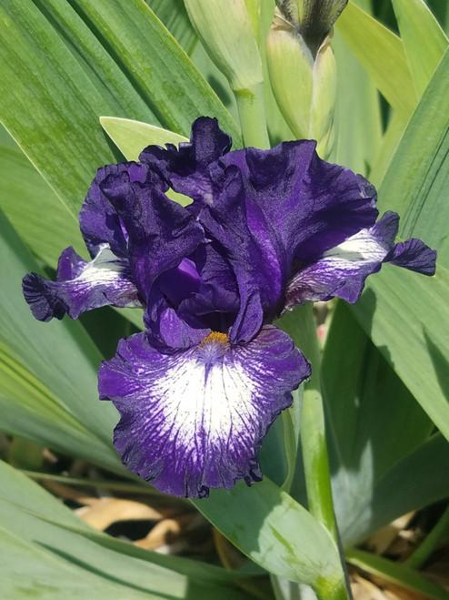 Iris g. 'Starwoman' 1g