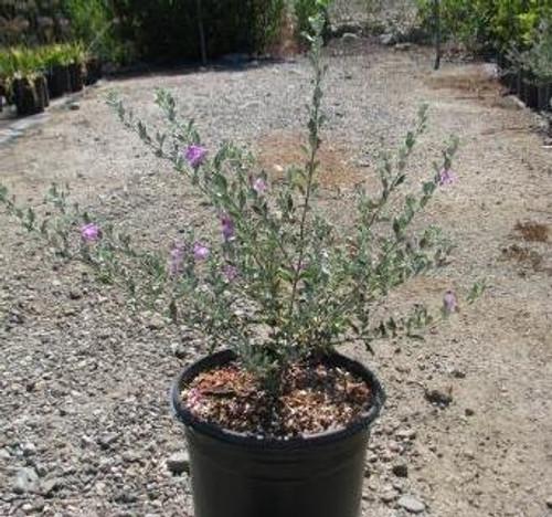 Leucophyllum frutescens 'Compacta' 1g
