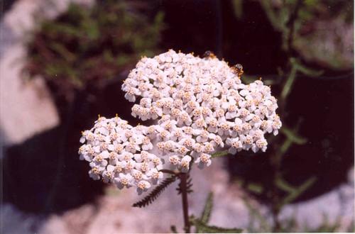 Achillea millefolium 1g