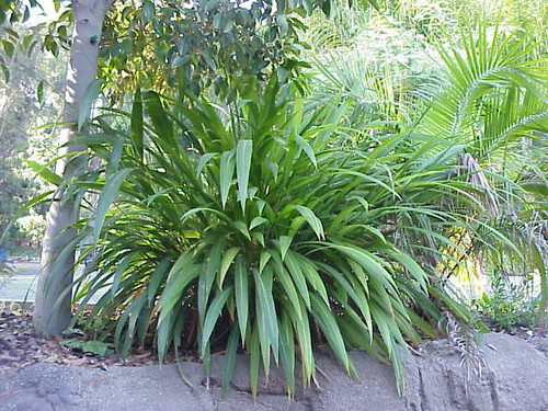 Setaria palmifolia 1g