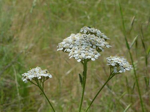 """Achillea millefolium 4"""""""