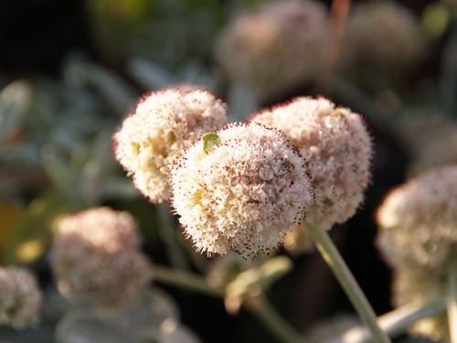 Eriogonum latifolium 1g