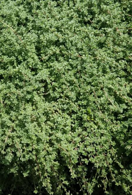 """Thymus pseudolanuginosus 4"""""""