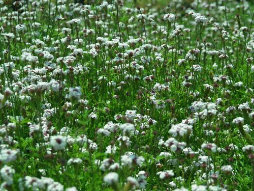 Verbena lilacina 'Paseo Rancho' 5g