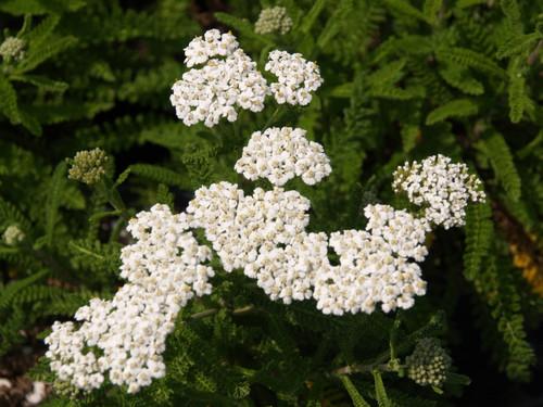 Achillea millefolium 'Sonoma Coast' 1g