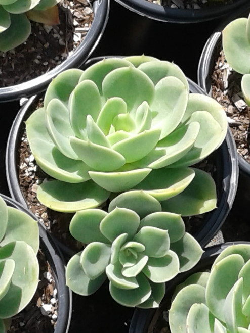 Echeveria 'Lemon Lime' 1g