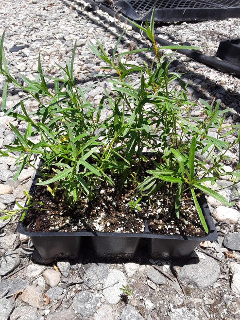 Asclepias fascicularis 6pack