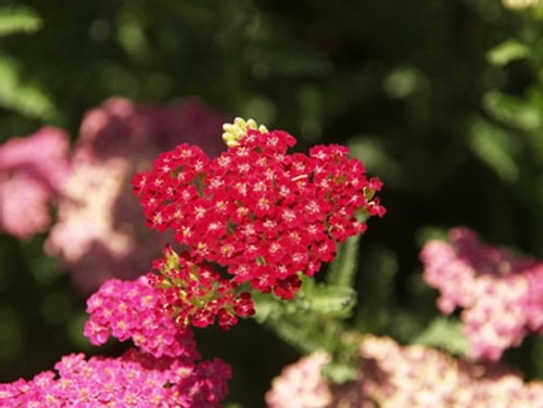 Achillea m. 'Balvinred' New Vintage Red TM (PP 25,618) 4""