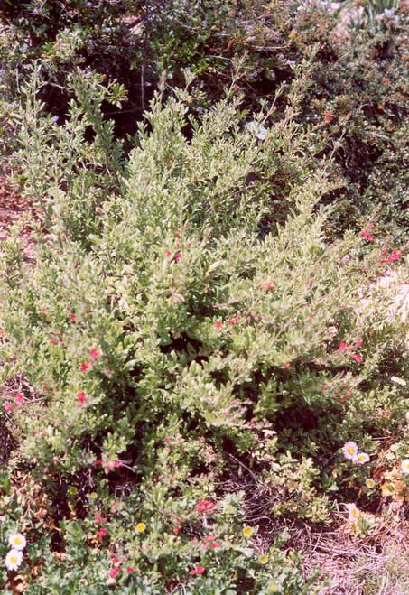 Galvezia speciosa 'Firecracker' (Gambelia) 5g