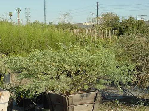 Acacia chinchilensis 24B