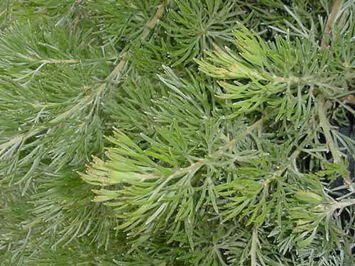 Adenanthos drummondii 1g