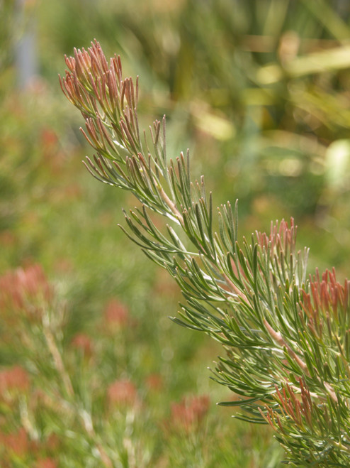 Adenanthos drummondii 5g