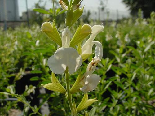 Salvia greggii 'White' 5g
