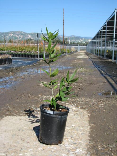 Umbellularia californica 1g