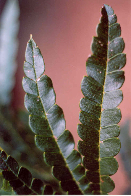 close up foliage of Lyonothamnum floribundus aspleniiflolius