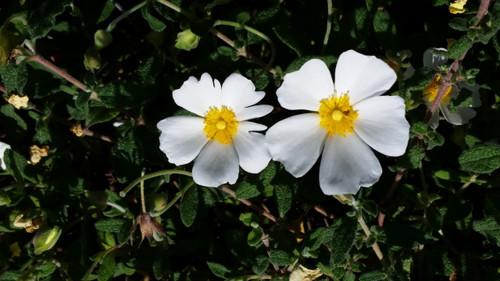 Cistus salvifolius 'Prostratus' flower