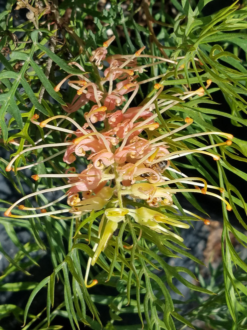 Grevillea 'Peaches and Cream' (PP18,035) 24B