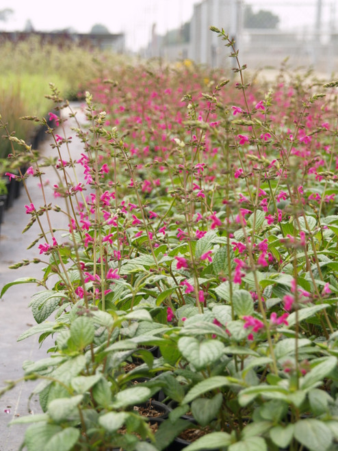 Salvia chiapensis group of containers in the nursery