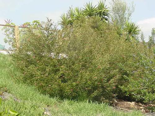 Grevillea 'Ivanhoe' full grown in a landscape