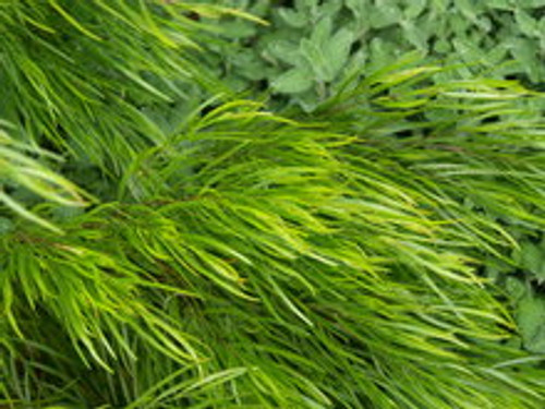 Acacia cognata Cousin Itt PPAF in a landscape