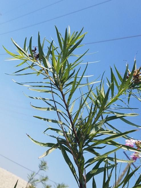Chilopsis linearis foliage