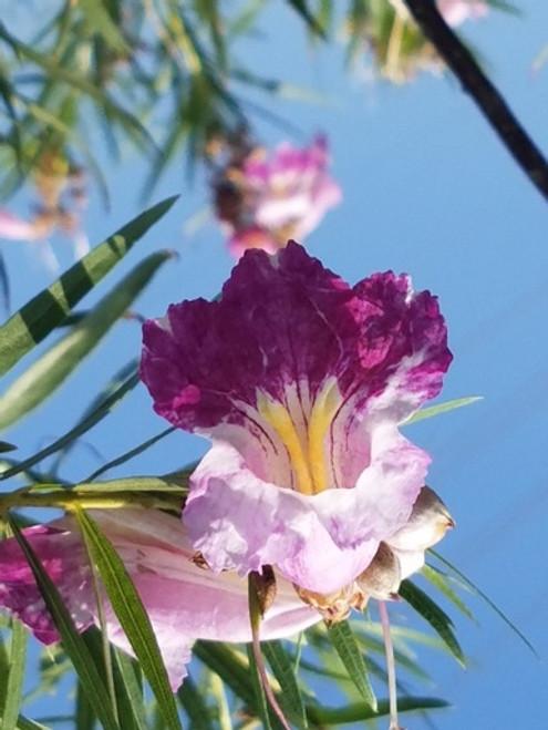 Chilopsis linearis flower