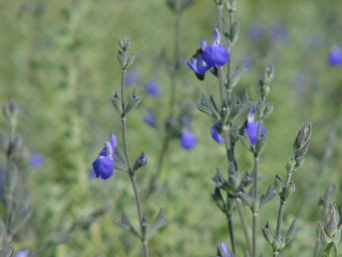 Salvia chamaedryoides 5g
