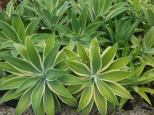 Agave attenuata 'Ray of Light' PPAF 3g