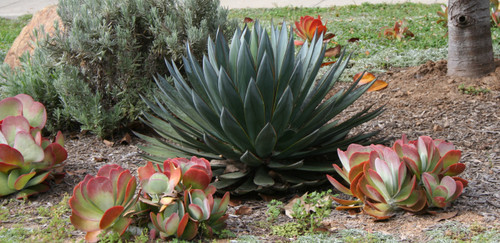 Agave 'Blue Glow' 5g