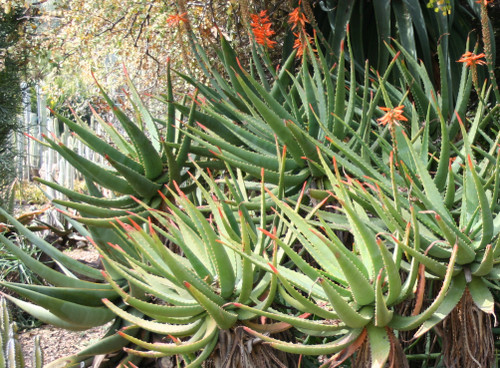 Aloe arborescens 1g