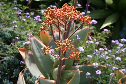 Aloe striata 1g