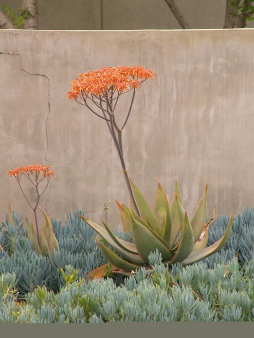 Aloe striata 5g