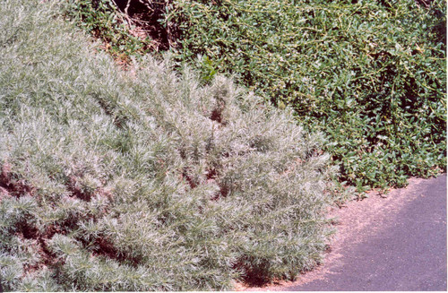 Artemisia californica 'Canyon Gray' 1g