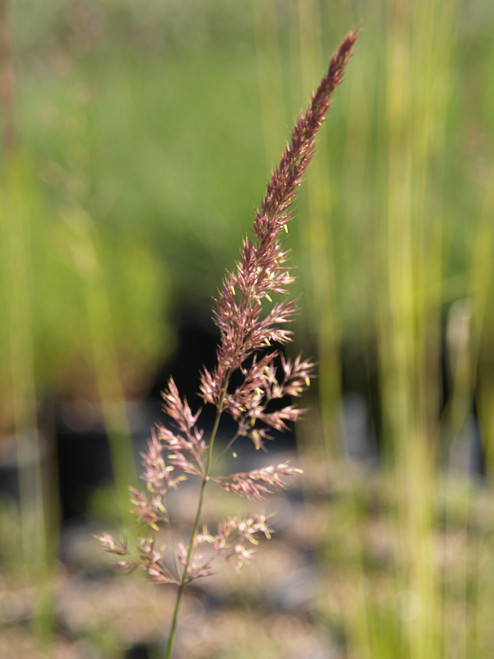 Calamagrostis acutiflora 'Overdam' 1g