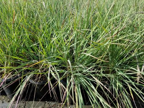 Calamagrostis foliosa 1g