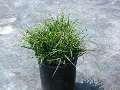 """Carex glauca (C. flacca) 4"""""""