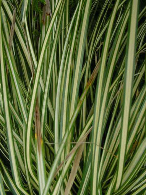 Carex hashimensis 'Everbrite' 1g