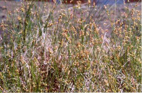 Carex perdentata 1g