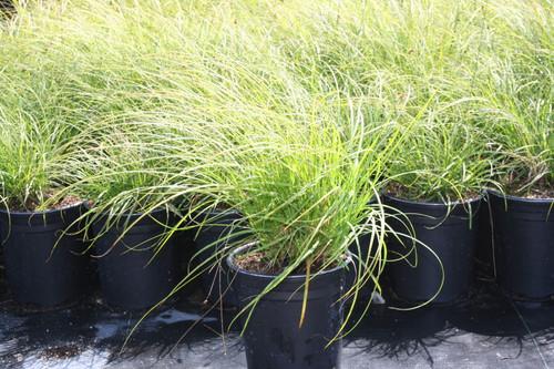 Carex praegracilis 1g