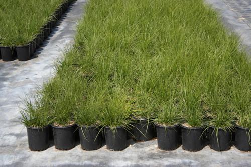 Carex praegracilis 50C