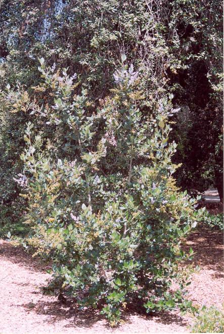 Ceanothus arboreus 1g