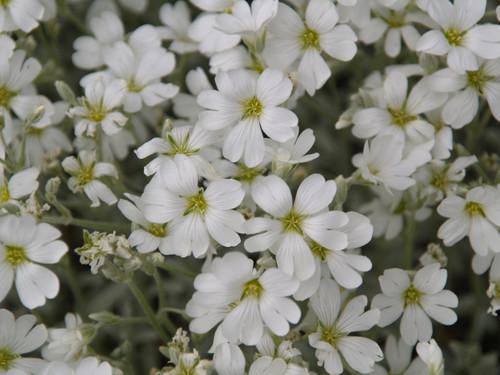 """Cerastium tomentosum 4"""""""